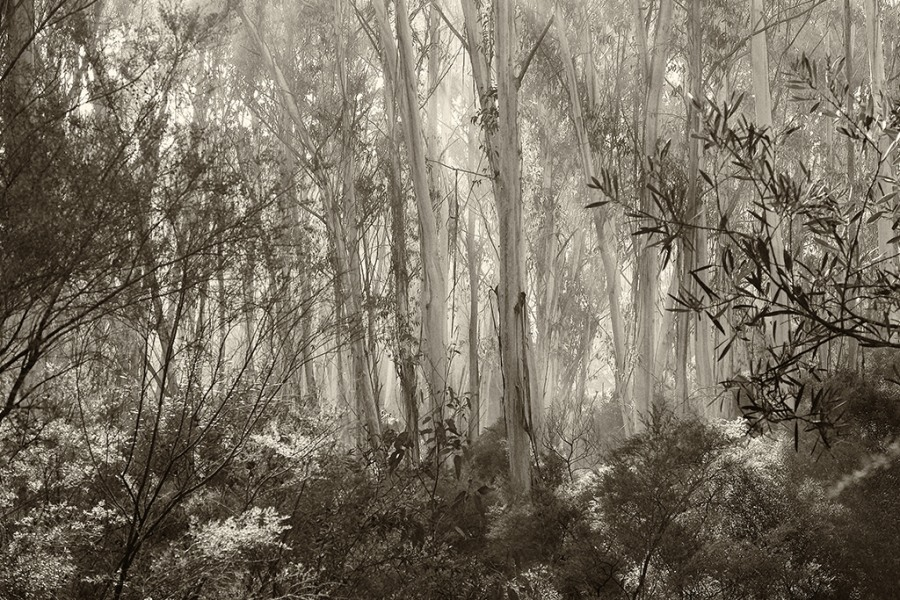 Goeff Smith: Mountain Ash in Mist, Photograph