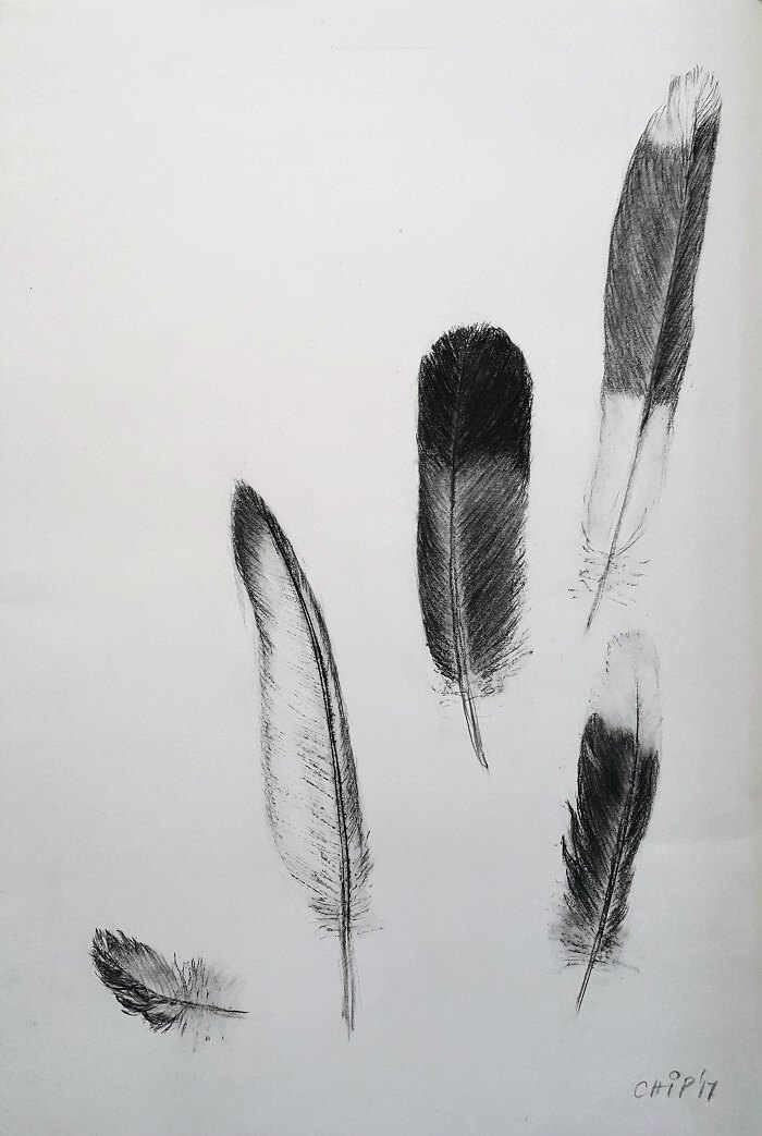 Jo Chipperfield. Feathers. 42 x 59cm Charcoal 2017