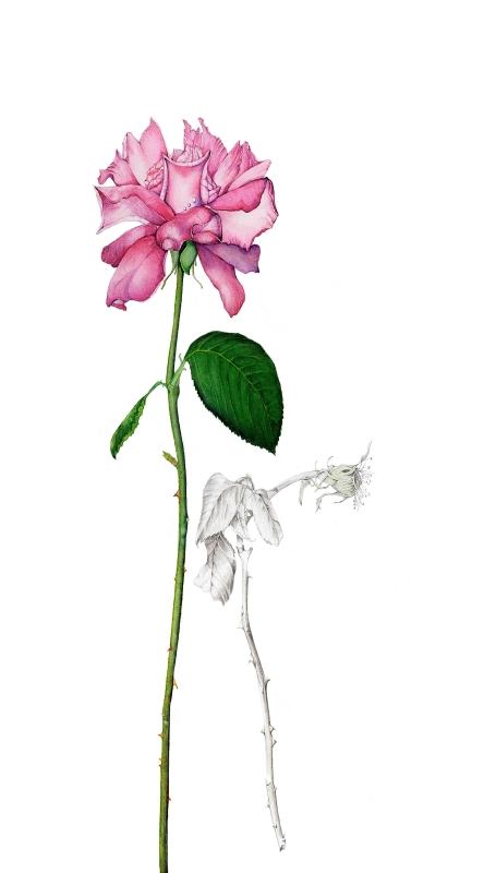 Robyn Fenning: Pink Rose 36 x 54 watercolour 2017