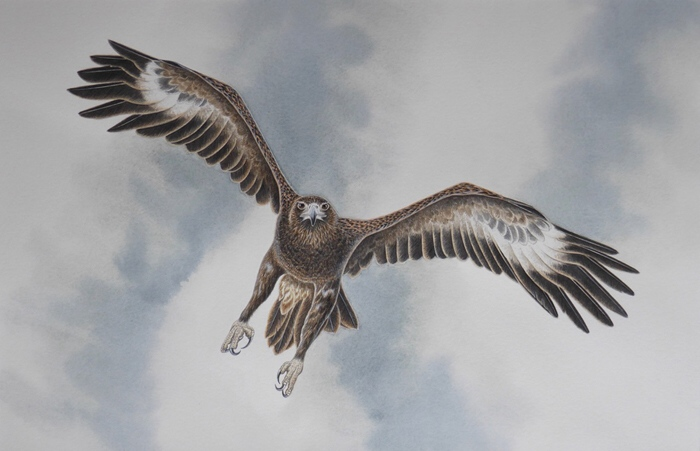 "STEVE TREDINNICK: ""In For The Kill"" - Wedge-tailed Eagle 57 x 37 cm Watercolour 2018"
