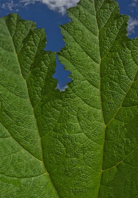 Denis Gallagher: Big Leaf, Photograph