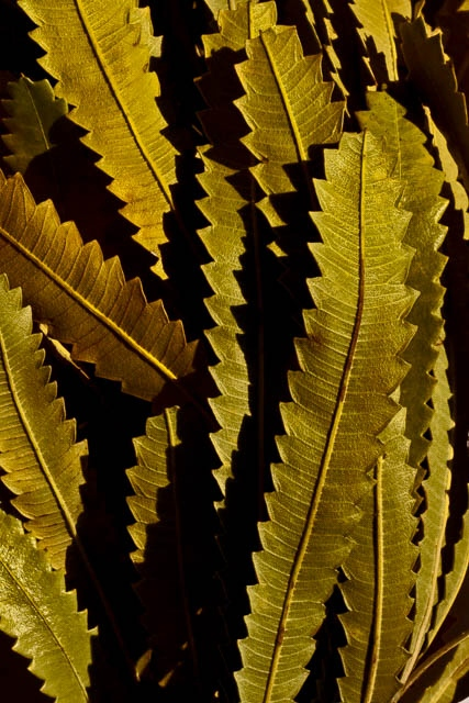 Denis Gallagher: Banksia Leaves, Photograph