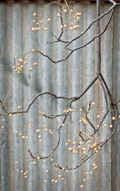 Denis Gallagher: White Cedar, Photograph