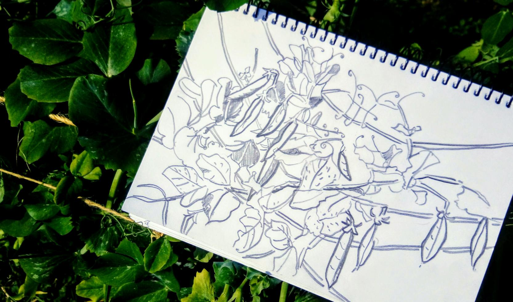 Jennifer Murray: Sunday Lunchtime Vegetable Garden Drawing: Peas 20x30 Graphite on Paper 2018