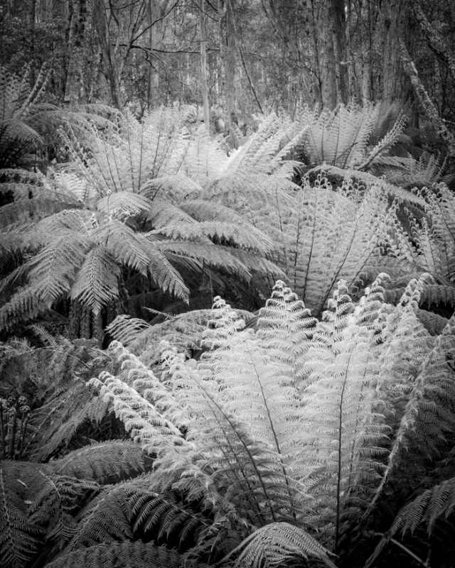 IAN BROWN: Tree Ferns