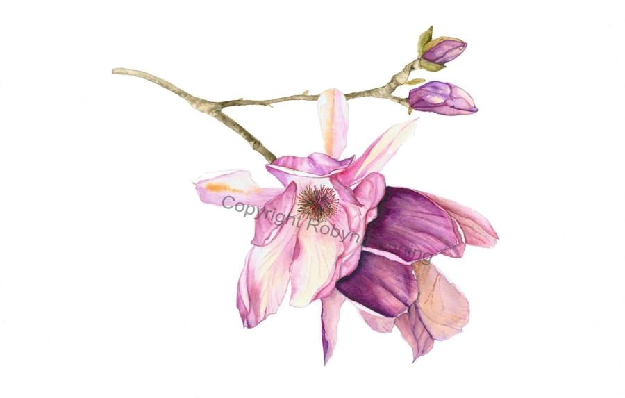 Robyn Fenning: Magnolia 30 x 44 watercolour 2016