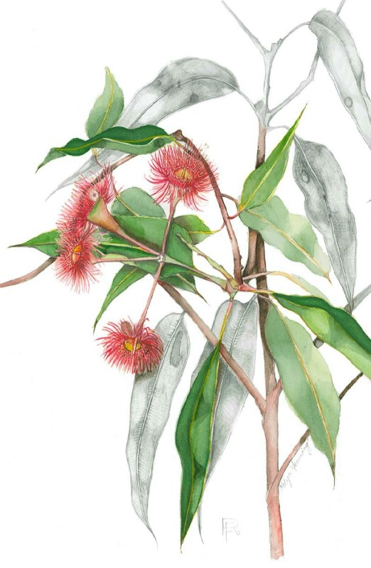 Robyn Fenning: Summer Red Eucalyptus 25 x 35 watercolour 2013