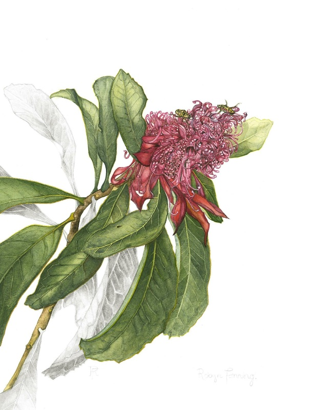 Robyn Fenning: Waratah 50 x 32 watercolour 2015
