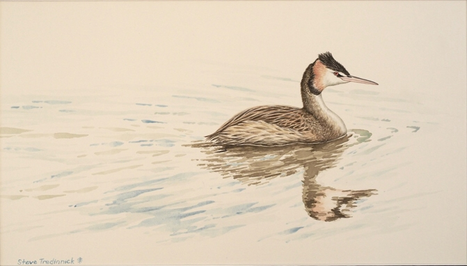 "STEVE TRENINNICK: ""Upon Reflection"" - Great-crested Grebe 50 x 28 cm Watercolour 2017"