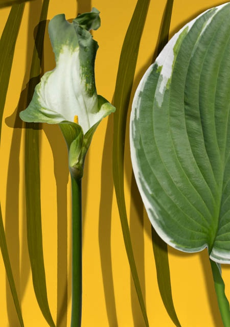Denis Gallagher: Lily & Hosta, Photograph