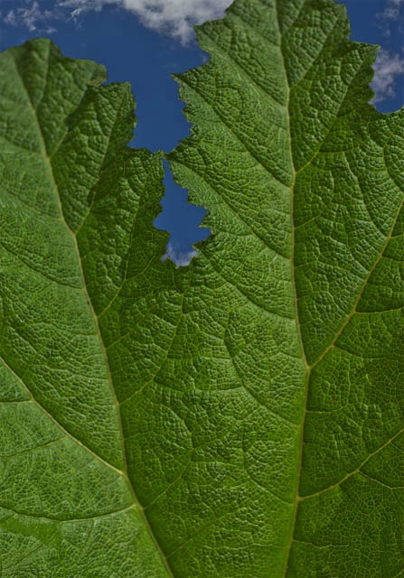 Denis Gallagher: Big Leaf, Photograph