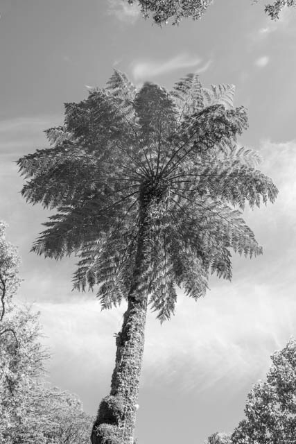 Denis Gallagher: Tree Fern, Mt Wilson, Photograph