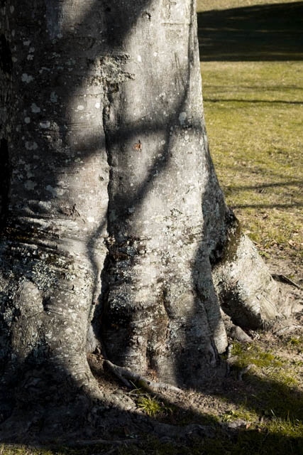 Denis Gallagher: Tree Trunk, Photograph