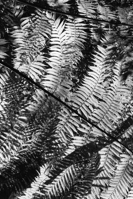 Denis Gallagher: Tree Fern, Photograph