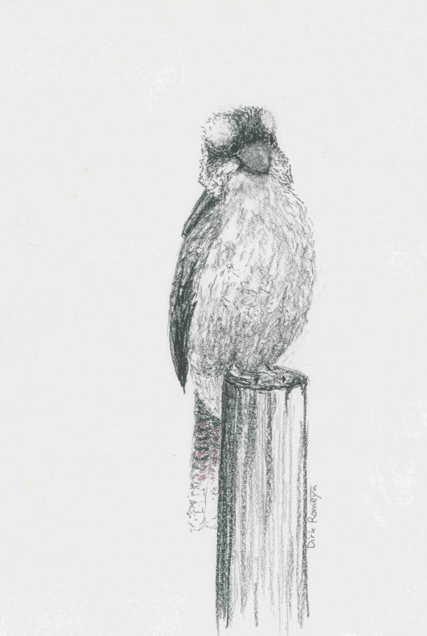 DIRK ROMEYN: Kookaburra420mm(h) x 300mm(w)Charcoal2021